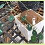 山烏龜🐢  圓葉山烏龜  塊根植物 多肉植物