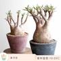 種子 多肉 象牙宮棒槌樹屬 塊根種子 Pachypodium rosulatum德國進口多肉 2019年