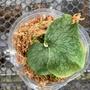 巨大鹿角蕨 P.superbum 原生大型鹿角蕨