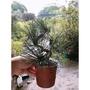 塑形黑松苗(超取限8株)。園藝小品盆栽