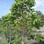 四季早生(實生)樹葡萄