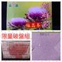 🍵朝鮮薊極品茶破盤回饋組🍵🌸二水鄉農特朝鮮薊茶🌸