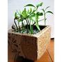種子盆栽,種子批發,七里香種子,羅漢松種子