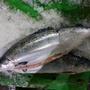 (免運)挪威空運鮭魚(整尾)